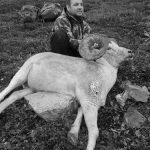 dall sheep info